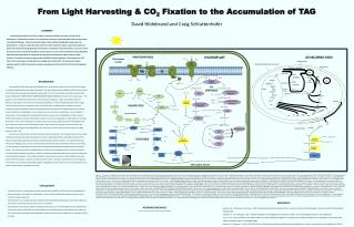 From Light Harvesting  & CO 2 Fixation  to the  Accumulation  of TAG