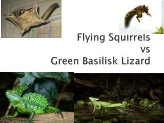 Flying Squirrels vs Green Basilisk Lizard