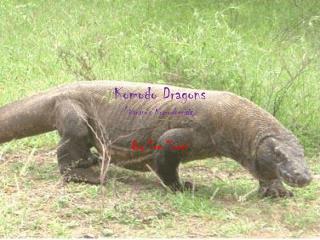 Komodo Dragons ( Varanus Komodoen sis )
