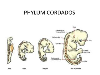 PHYLUM CORDADOS