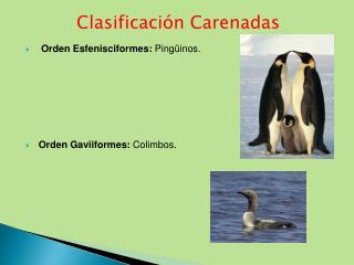 Orden  Esfenisciformes :  Pingüinos.  Orden  Gaviiformes :  Colimbos.
