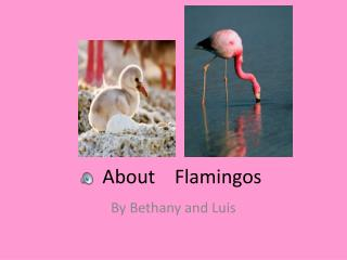 About    Flamingos