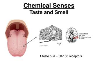 Chemical Senses Taste and Smell