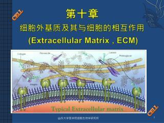 第十章 细胞外基质及其与细胞的相互作用 (Extracellular Matrix , ECM)