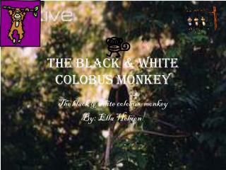 The black & white  colobus  MONKEY
