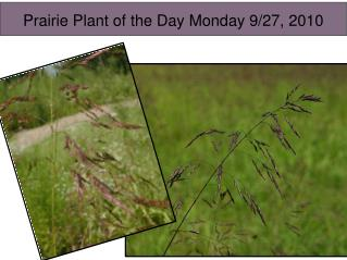 Prairie Plant  of the  Day Monday 9/27, 2010