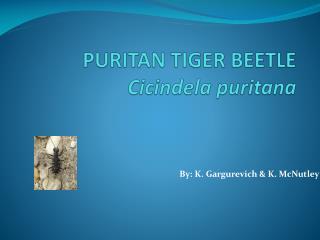 PURITAN TIGER BEETLE Cicindela puritana