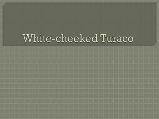 White-cheeked Turaco