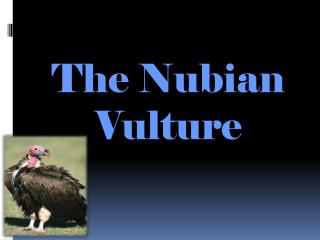 The Nubian Vulture