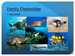 Family  Cheloniidae