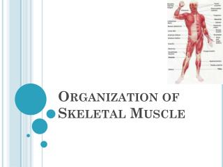 Organization of Skeletal Muscle