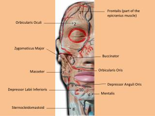 Frontalis  (part of the  epicranius  muscle)