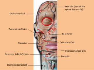 Frontalis  (part of the  epicranius  muscle)