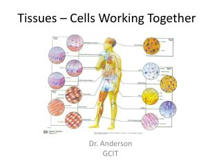Tissues – Cells Working Together