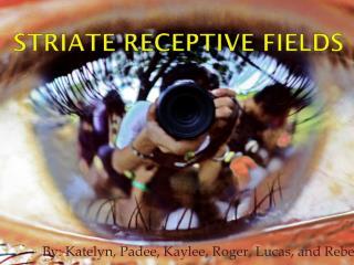 Striate receptive fields