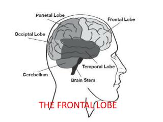 THE FRONTAL LOBE
