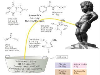 Ammonium 0. 1 – 1.5 g  Buffering the urine