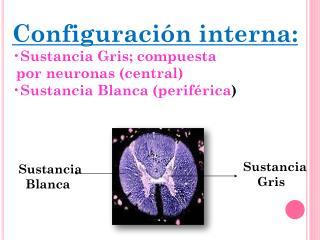 Configuración interna: Sustancia Gris; compuesta   por neuronas (central)