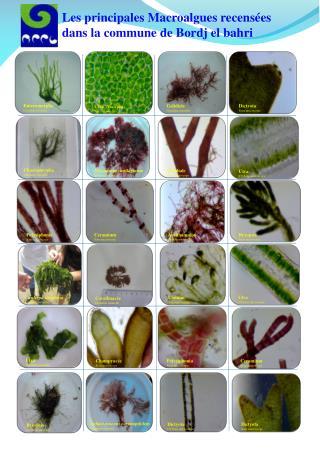 Polysiphonia Sous microscope