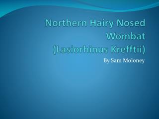Northern  Hairy  Nosed Wombat (Lasiorhinus Krefftii)