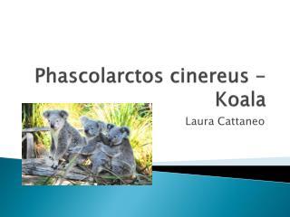 Phascolarctos cinereus - Koala