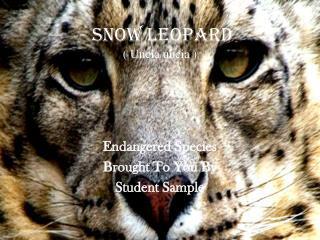 Snow Leopard ( Uncia uncia )