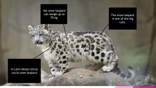 The snow leopard is one of the big cats.