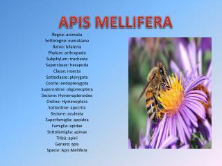 Regno:  animalia Sottoregno:  eumatazoa Ramo:  bilateria Phylum:  arthropoda