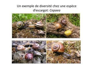 Un exemple de diversité chez une espèce d'escargot:  Cepaea
