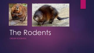 The Rodents