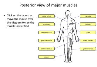 Posterior view of major muscles