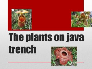 The  plants  on java trench