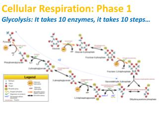 Cellular Respiration: Phase 1 Glycolysis: It takes 10 enzymes, it takes 10 steps…