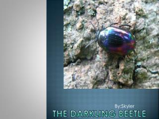 The Darkling Beetle