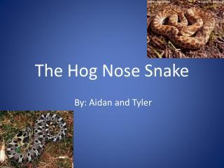 The Hog  N ose Snake