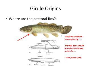Girdle Origins