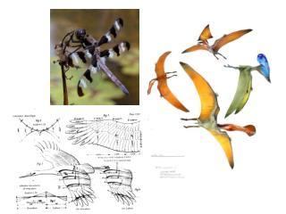 Myotis lucifugus (l.b.bat)- 20 MPH