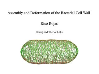 Assembly and Deformation of the Bacterial Cell Wall
