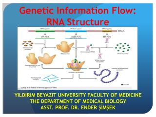 Genetic  Information Flow:  RNA  Structure