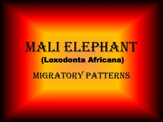 Mali Elephant  (Loxodonta Africana)