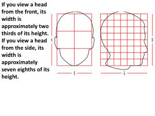 If you view a head from the front, its width is approximately two thirds of its height.