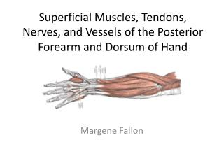 Superficial Muscles, Tendons, Nerves, and Vessels of the Posterior Forearm and Dorsum of Hand