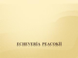 ECHEVERİA  PEACOKİİ
