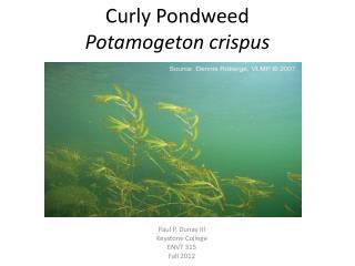 Curly  Pondweed Potamogeton crispus