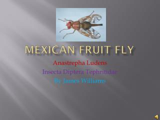 Mexican  F ruit Fly