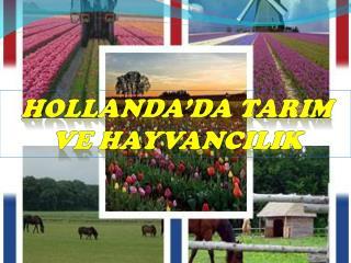 HOLLANDA'DA TARIM VE HAYVANCILIK