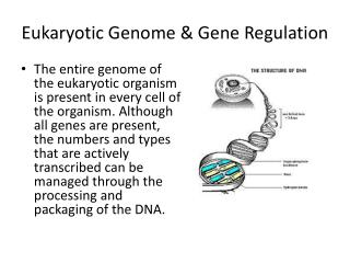Eukaryotic Genome & Gene Regulation