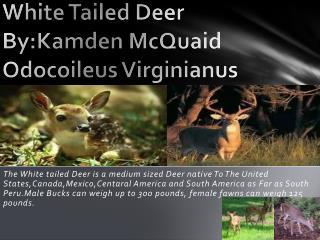 White Tailed Deer By:Kamden McQuaid Odocoileus Virginianus