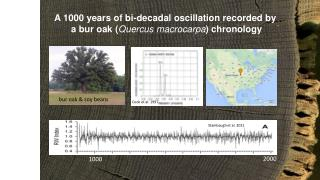 A 1000  years of bi-decadal oscillation recorded by   a bur oak ( Quercus macrocarpa ) chronology