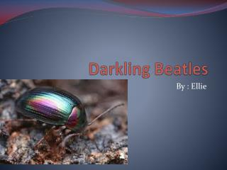 Darkling  Beatles